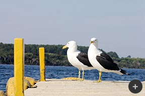 The Southern Black Backed Gull
